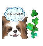 パピヨン犬のメッセージ(個別スタンプ:2)