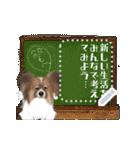 パピヨン犬のメッセージ(個別スタンプ:12)