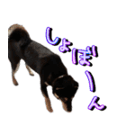柴犬じゃない♡ ぎんの使えるスタンプ2(個別スタンプ:8)