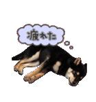柴犬じゃない♡ ぎんの使えるスタンプ2(個別スタンプ:18)