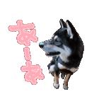 柴犬じゃない♡ ぎんの使えるスタンプ2(個別スタンプ:19)