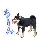 柴犬じゃない♡ ぎんの使えるスタンプ2(個別スタンプ:21)
