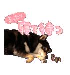柴犬じゃない♡ ぎんの使えるスタンプ2(個別スタンプ:35)