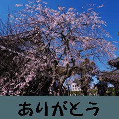 湘南・鎌倉のたよりの花