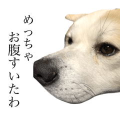 秋田犬、こはくの関西弁スタンプやで。
