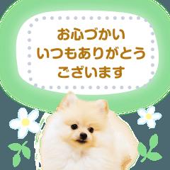 [LINEスタンプ] 毎日使えるポメラニアンのメッセージ