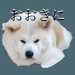秋田犬、こはくの関西弁スタンプやで。弐